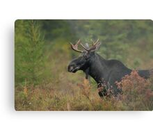 Bull Moose In Marsh Metal Print