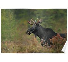 Bull Moose In Marsh Poster