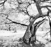 Tree in infrared by Paul Richards