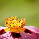 Poppy love by Sangeeta