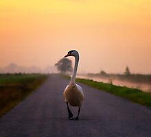 The Swan in Eempolder The Netherlands by THHoang