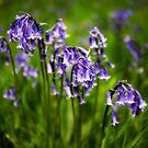 Bluebells by Paul Richards