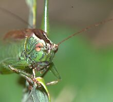 Conehead Cricket by brianfuller75