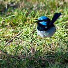 Blue Wren at Shelbourne by SherbrookePhoto