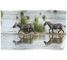 Zebras Cantering Across The Swamp Poster