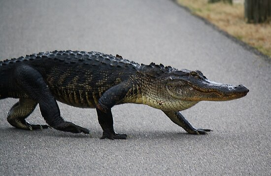 Gator Crossing by Cynthia48