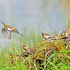 Finches Foraging by M.S. Photography/Art