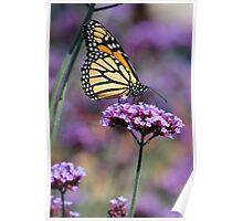 Monarch on Mauve Poster