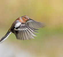 Chaffinch ~ Inflight by Margaret S Sweeny