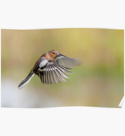 Chaffinch ~ Inflight Poster