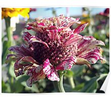 Mottled Pink Cone Flower  Poster