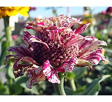 Mottled Pink Cone Flower  Photographic Print