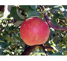 Honey Crisp Solo Photographic Print