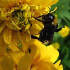 Wet bumblebee on a flower by Irina777
