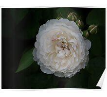 Creamy, Dreamy Rose Poster
