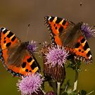 Small Tortoiseshell by Jon Lees