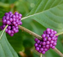 American Beautyberry by gabbmac