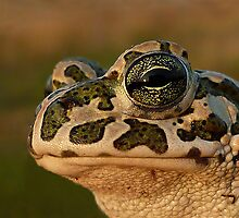 The Beauty...European Green Toad ( Bufo viridis) by Istvan Natart