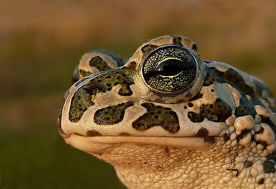 The Beauty...European Green Toad ( Bufo viridis) by Istvan froghunter