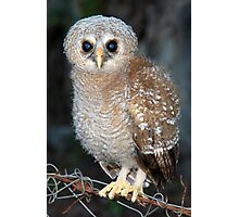 Young Owl Photographic Print