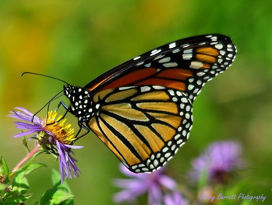 Monarch on Aster by Nancy Barrett