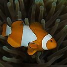 Clownfish and Anemone by Todd Krebs