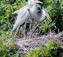 Blue Heron Nesting Pair by Rosalie Scanlon