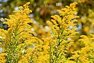 Autumn's Golden Rod by NatureGreeting Cards ©ccwri