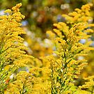 Autumn's Golden Rod by NatureGreeting Cards ©ccwri