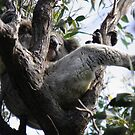 Sleeping Koala (Phascolarctos cinereus) - Cleland Conservation Park, South Australia by Dan & Emma Monceaux