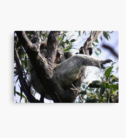 Sleeping Koala (Phascolarctos cinereus) - Cleland Conservation Park, South Australia Canvas Print