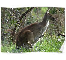 Western Grey Kangaroo - Cleland Conservation Park, South Australia Poster