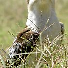 Kookaburra in the Grass by Nicki Baker