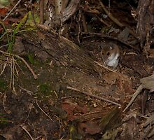 All alone in the world - Deer Mouse - Presqu'ile Provincial Park, Ontario by Stephen Stephen
