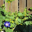 The Solitary Morning Glory by Bearie23