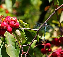 Dragon Fly Among the Apples by Eileen McVey