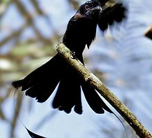 Ribbon-tailed or Paradise Drongo (Dicrurus megarhynchus) by Normf