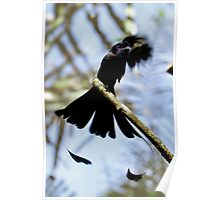 Ribbon-tailed or Paradise Drongo (Dicrurus megarhynchus) Poster