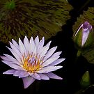 Waterlily with bud by cclaude