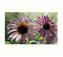 Echinacea (Coneflower) - Morning Sunlight Art Print