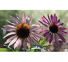 Echinacea (Coneflower) - Morning Sunlight Photographic Print