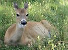 Adorable Doe by Barberelli