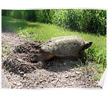 Snapping Turtle burying her eggs Poster
