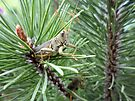 Grasshoppers in a Pine Tree by Barberelli
