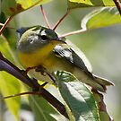 Northern Parula  by Dennis Cheeseman