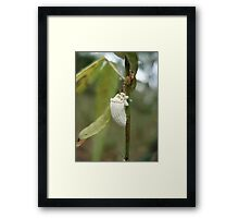 COTTONY CUSHION SCALE INSECT  Framed Print