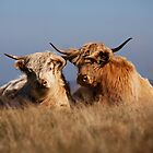 Highland Cattle Dartmoor by Robert Wright