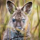 Wallaby by Kana Photography