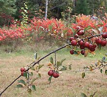 R3 crab apples by minnie71
