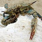 Stranded Blue Crab by Justin  McGovern